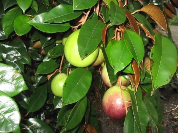 """""""Ăn trái cây như ở miền Tây"""" ngay tại Quảng Nam 4"""