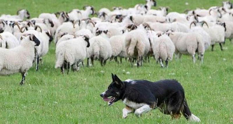 Thả sói vào đàn cừu