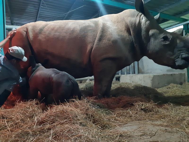 Kỷ lục 4 tê giác con chào đời trong vòng 16 tháng tại Vinpearl Safari 3