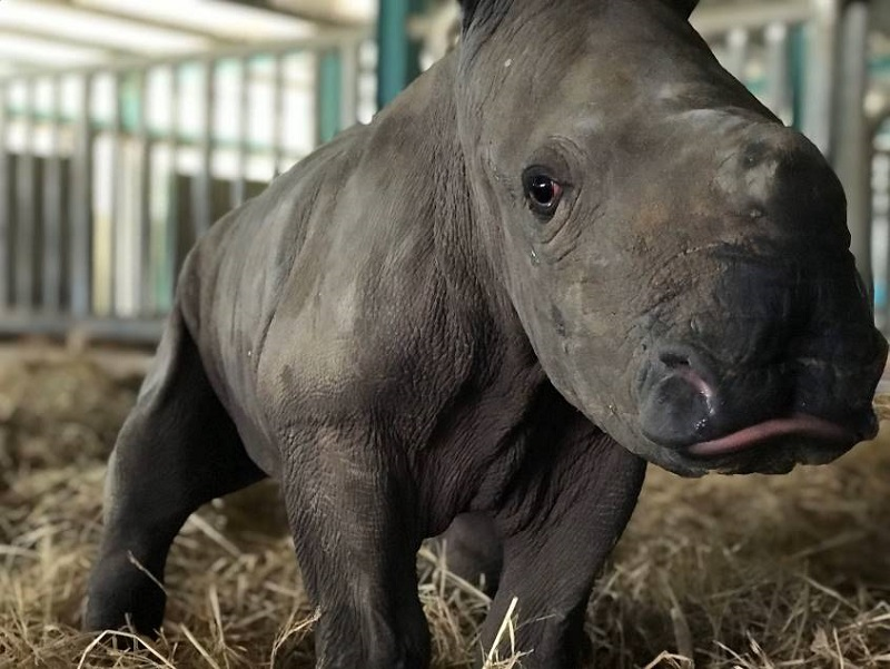 Kỷ lục 4 tê giác con chào đời trong vòng 16 tháng tại Vinpearl Safari 5