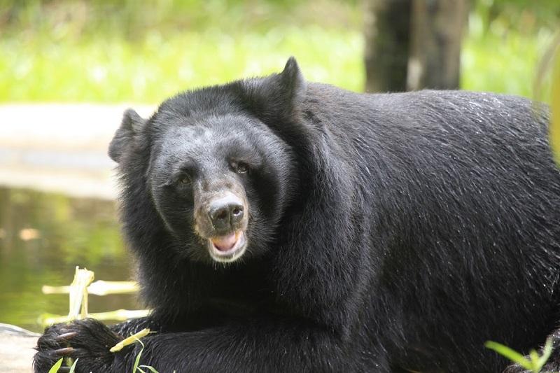 Vinpearl Safari hồi sinh thần kỳ cho gấu ngựa 3