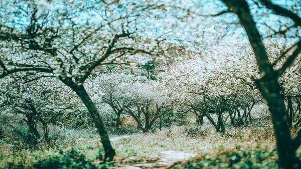 Lạc lối giữa rừng hoa mận trắng muốt tinh khôi 1