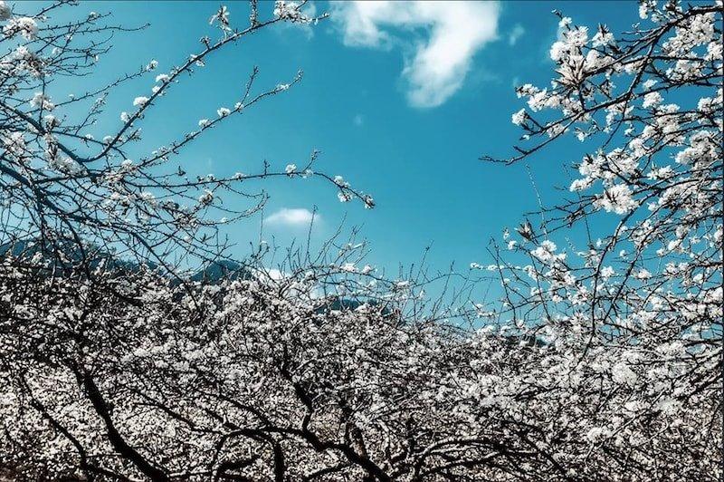 Lạc lối giữa rừng hoa mận trắng muốt tinh khôi 2