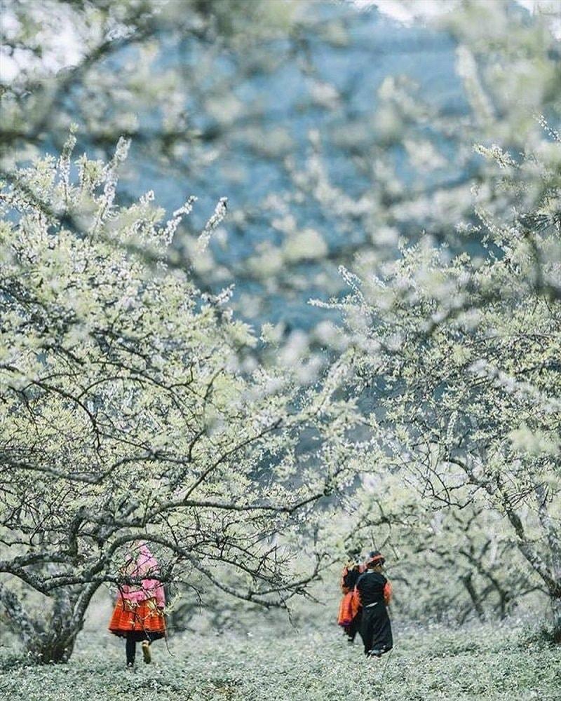 Lạc lối giữa rừng hoa mận trắng muốt tinh khôi 3
