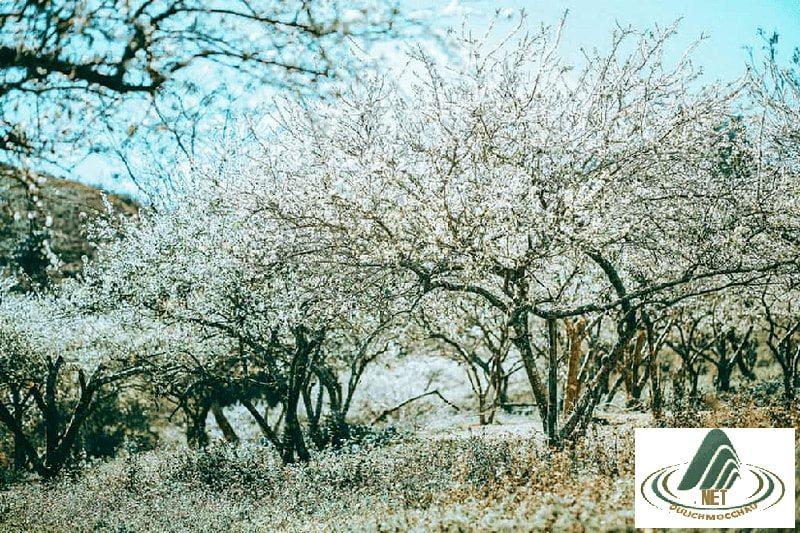 Lạc lối giữa rừng hoa mận trắng muốt tinh khôi 4