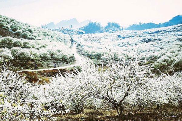 Lạc lối giữa rừng hoa mận trắng muốt tinh khôi 5
