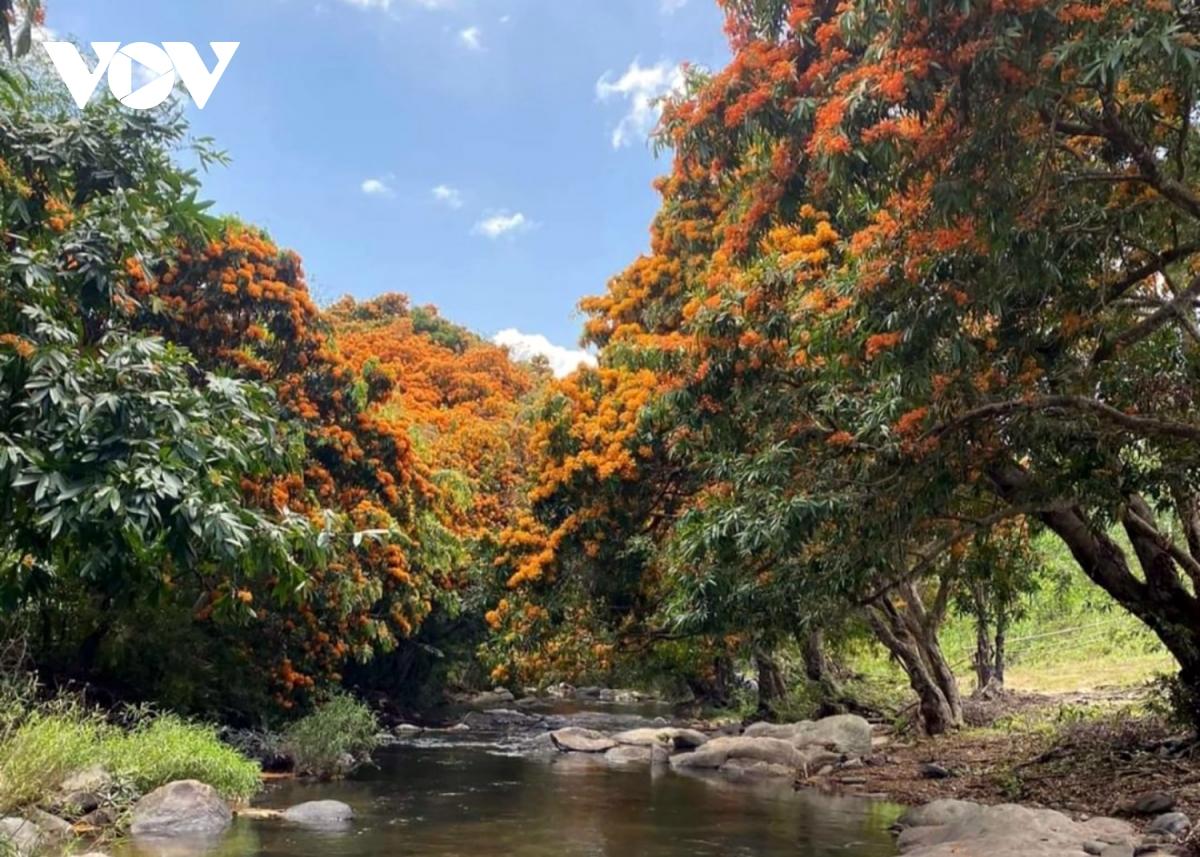 Bình Định: Hoa trang rừng nở rực rỡ hút khách tham quan 2