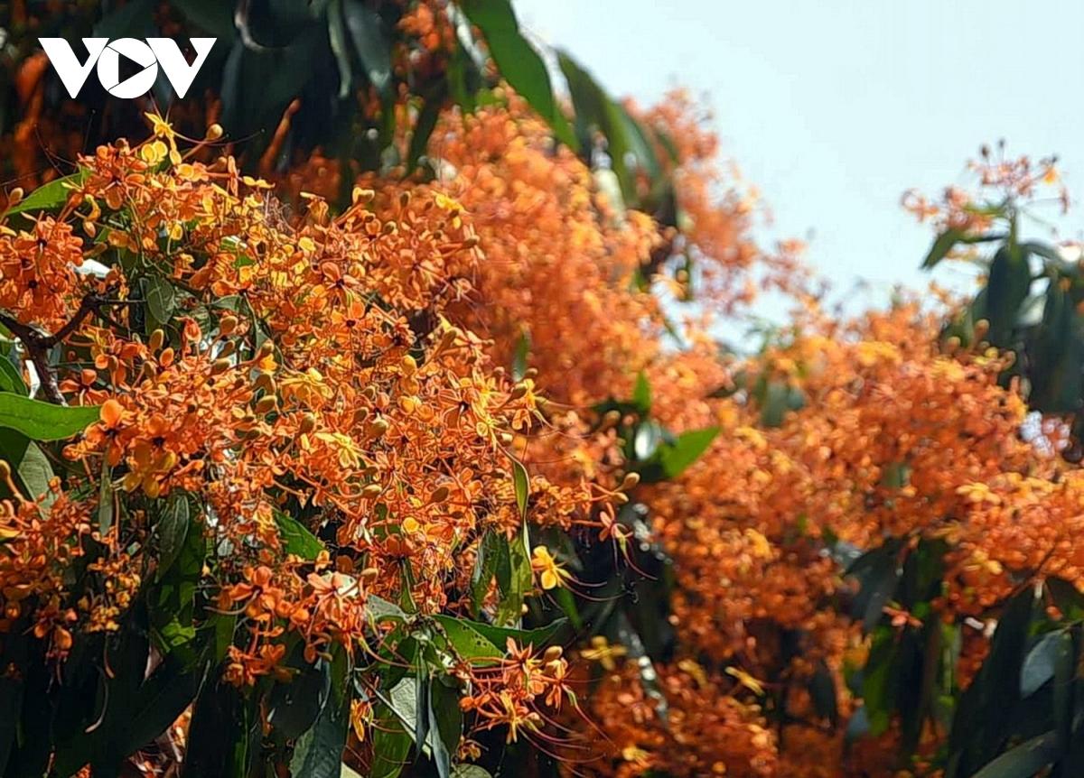 Bình Định: Hoa trang rừng nở rực rỡ hút khách tham quan 3