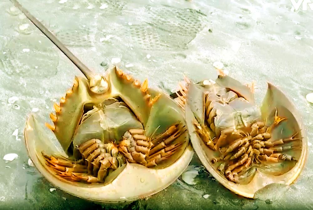 Về miền biển, thưởng thức đặc sản trứng sam rán 1